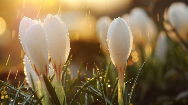 spring_snowdrops_flowers_buds_drops_sun_glare_93167_1920x1080